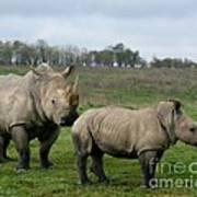 Southern White Rhinos Poster