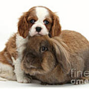 Spaniel Pup With Rabbit Poster