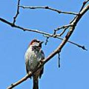 Sparrow On The Branch Poster