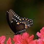 Spice Bush Swallowtail And Azaleas Poster by Lara Ellis