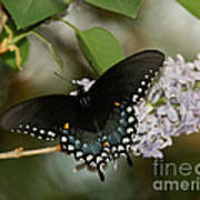 Spice Bush Swallowtail On Lilac Poster