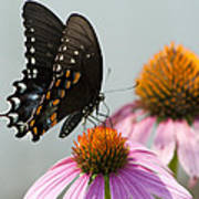 Spicebush Butterfly On Echinacea Poster