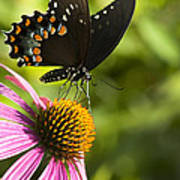 Spicebush Swallowtail Butterfly And Coneflower Poster