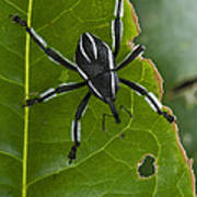 Spider Weevil Papua New Guinea Poster