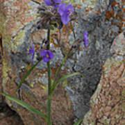 Spiderwort Poster