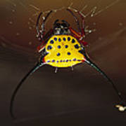 Spiked Spider Gasteracantha Sp In Web Poster