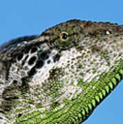 Spiny Chameleon Chamaeleo Verrucosus Poster