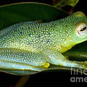 Spiny Glass Frog Poster