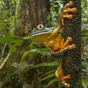 Splendid Leaf Frog  Costa Rica Poster