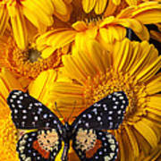 Spotted Butterfly On Yellow Mums Poster