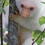 Spotted Cuscus Phalanger Maculatus Poster