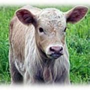 Spring Calf Poster