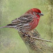 Spring Finch Poster