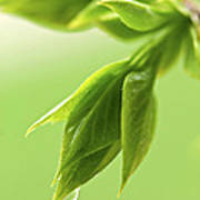 Spring Green Leaves Poster by Elena Elisseeva