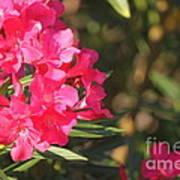 Spring On Oleander Poster