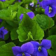 Spring Violets Poster by Yvonne Scott