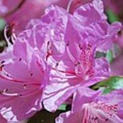 Springtime Pinks Poster