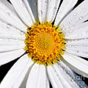 Square Daisy - Close Up Poster
