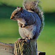 Squirrel Posing On Fence Post Posing - C9243c Poster