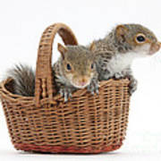 Squirrels In A Basket Poster by Mark Taylor
