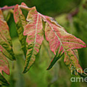 Staghorn Sumac Poster