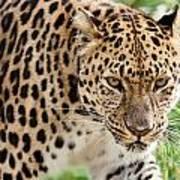 Stalking Amur Leopard Poster