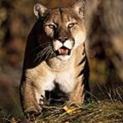 Stalking Mountain Lion Poster