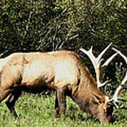 Stand Alone Elk Poster by The Kepharts