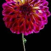Stand Up Dahlia Poster