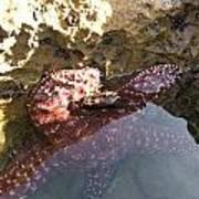 Starfish Ca Tidepools Poster