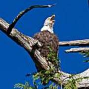 Squawking Alaskan Eagle Poster
