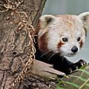 Stealthy Red Panda Poster