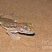 Stenodactylus Petrii Or Dune Gecko Poster