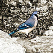 Stone Blue Jay Poster
