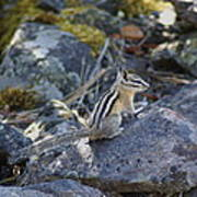 Straight Tailed Chipmunk On A Rock Poster
