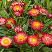 Strawflower Helichrysum Sp Red Variety Poster