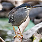 Striated Heron Poster by Fabrizio Troiani