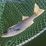 Striped Bass In Net.  The Fish Poster