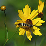 Striped Bee On Wildflower Poster