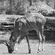 Striped Deer In Black And White Poster