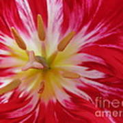 Striped Flaming Tulips. Hot Pink Rio Carnival Poster