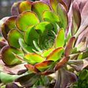 Succulant In Light Poster