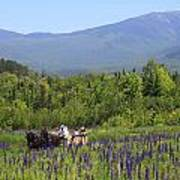 Sugar Hill Horse Tour And Lupines Poster