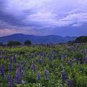 Sugar Hill Lupines Thunderstorm Clearing Poster