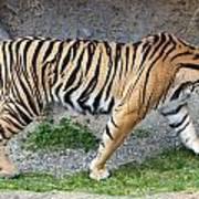 Sumatran Tiger - 0004 Poster