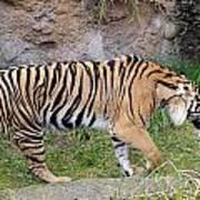 Sumatran Tiger - 0005 Poster