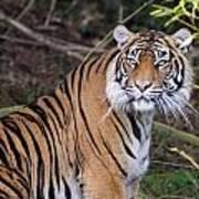 Sumatran Tiger - 0009 Poster