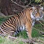 Sumatran Tiger - 0010 Poster