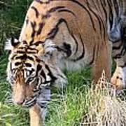 Sumatran Tiger - 0014 Poster