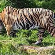 Sumatran Tiger - 0016 Poster
